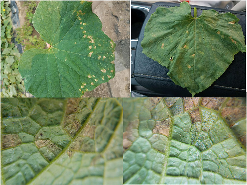 cucurbit downy mildew on leaves in New York State
