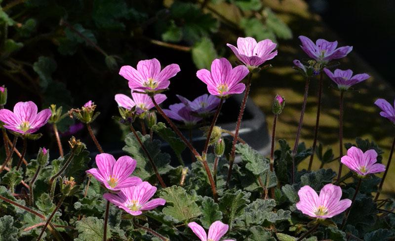 Erodium in bloom in Williamsville NY