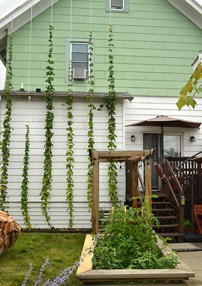 hop vines or bines growing in Tonawanda NY