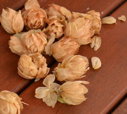 dried hops flowers or cones