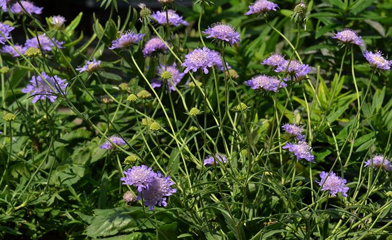Scabiosa in bloom in Williamsville NY