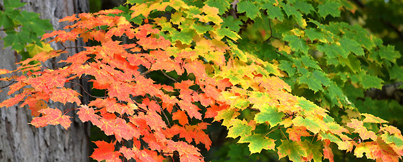 autumn leaves in Letchworth State Park by Stofko