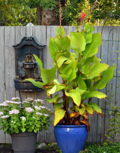 canna lily in Amherst NY