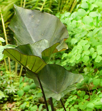 coffee cups or colocasia in Orchard Park NY
