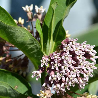 flower on common milkweed in Amherst NY