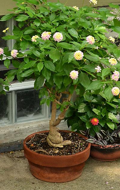 lantana in tree form in Buffalo NY
