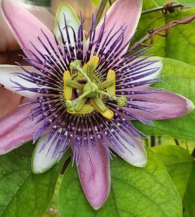 passion flower or Passiflora 'Belotti'