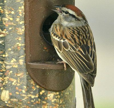 sparrow at birdfeeder in Western New York