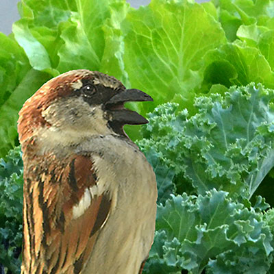 illustration of sparrow eating lettuce and kale