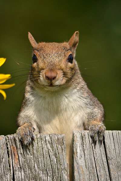 squirrel on fence by Stofko