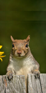 squirrel closeup for featured image by Stofko