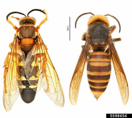 eastern cicada killer compared to Asian giant hornet
