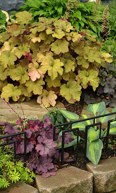 coral bells in shade garden in Kenmore NY