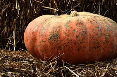 Speckled Hound squash at Urban Roots in Buffalo NY